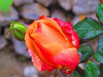 雨上がりのバラ 2013.4.26.jpg